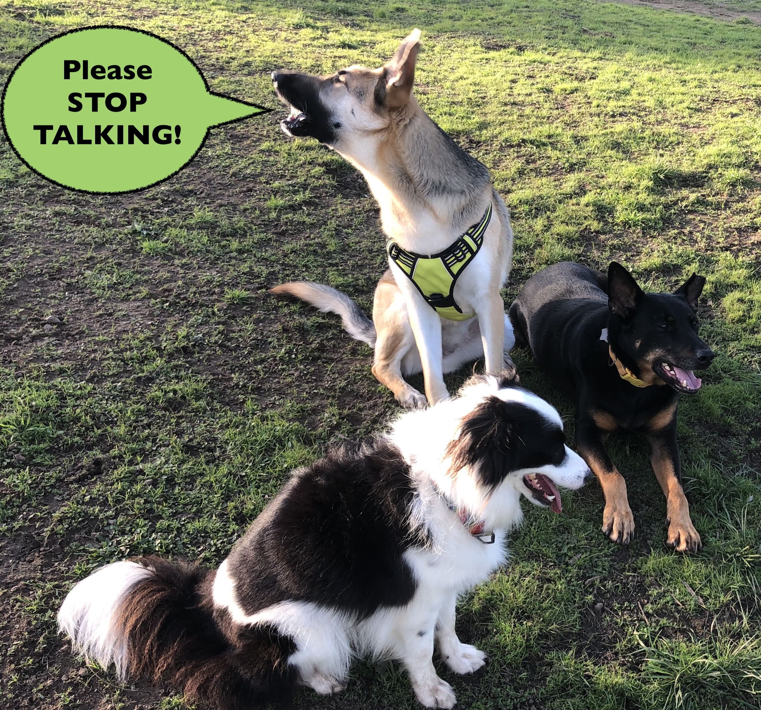 Three dogs playing in a field with one asking the humans to 'Please STOP TALKING!'