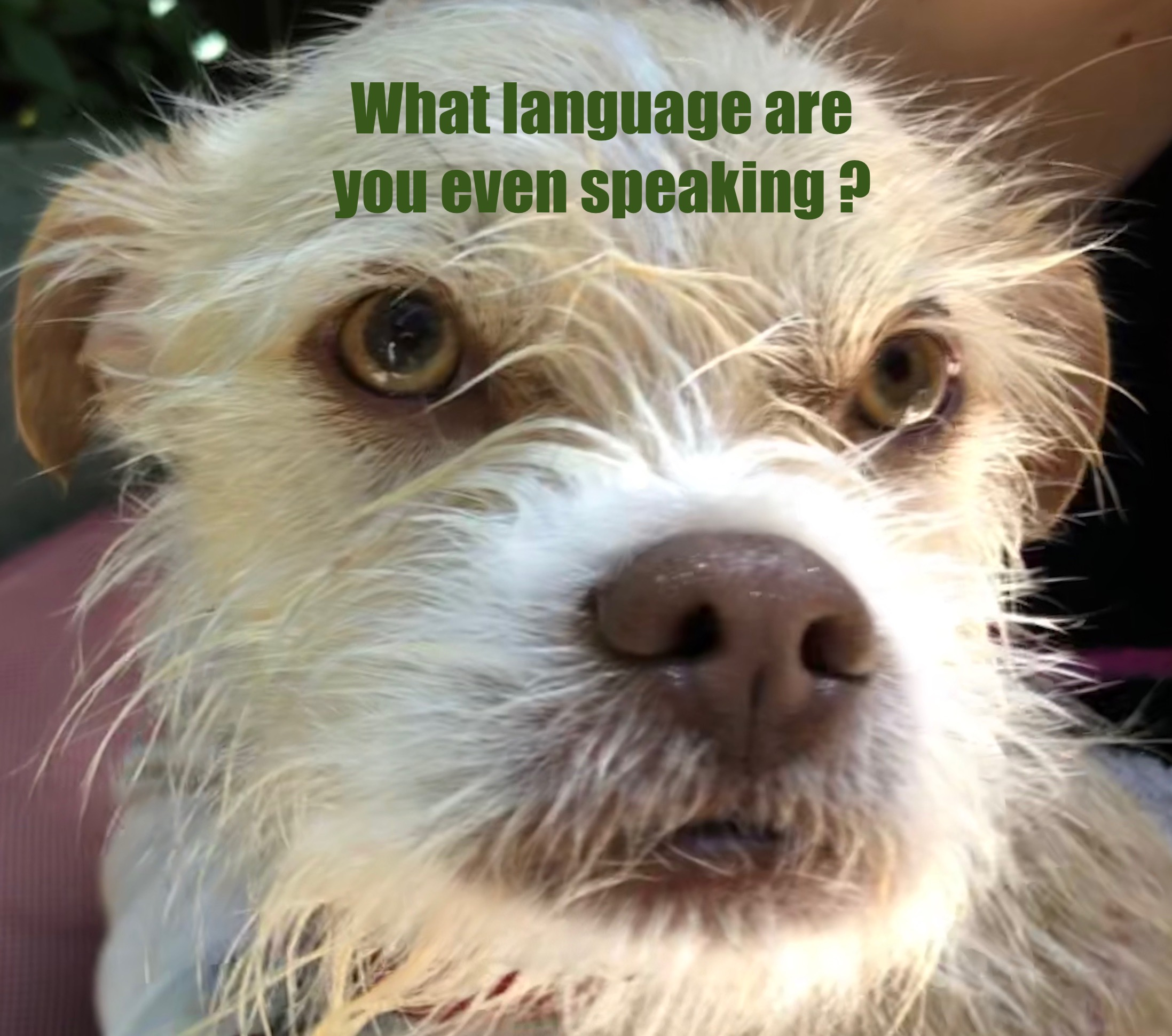 Confused looking dog with the caption 'What language are you even speaking?'